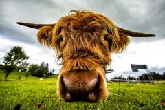 Kuh auf einer Weide bei Dietringen